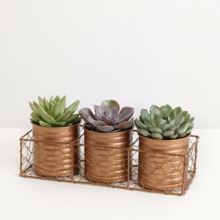 Plants - The Succulent Trio - Image 2