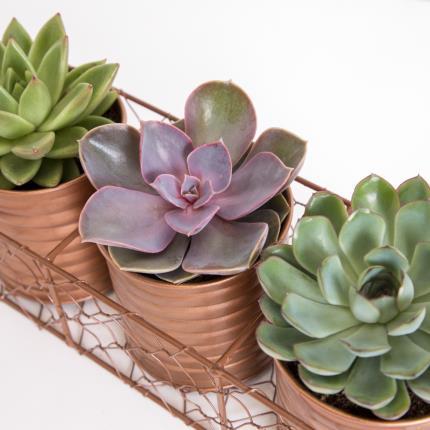 Plants - The Succulent Trio - Image 3